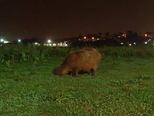 Capibara au parc Barigui