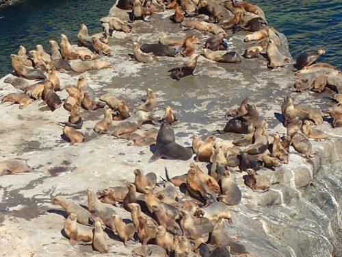 Lions de mer se prélassant à la Loberia