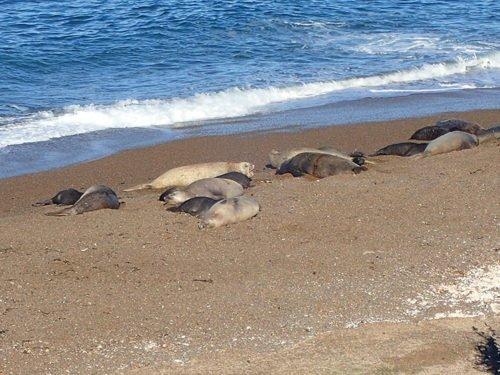 Lions de mer à Punta Norte