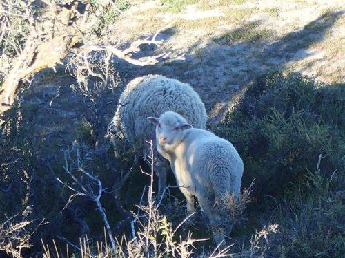 Moutons sur la péninsule Valdés