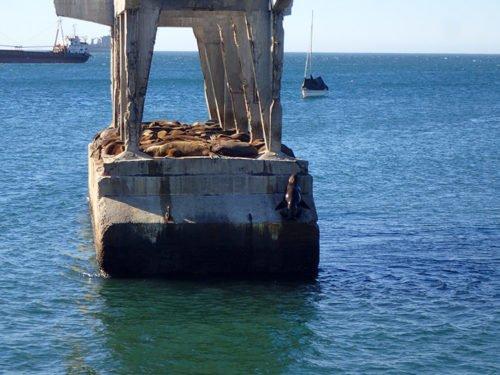 Les lions de mer au Paseo Muelle Baron