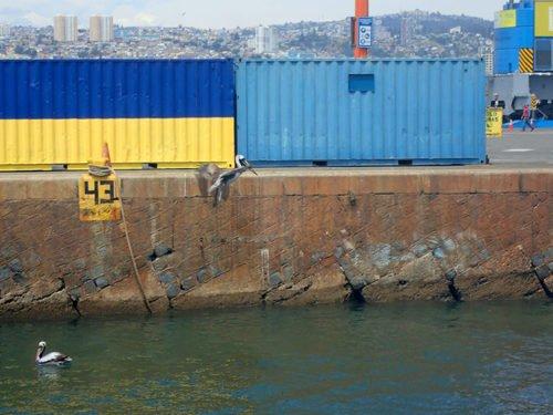 Les pélicans pêchent dans le port de Valparaiso