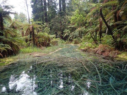 La forêt de Redwoods à Rotorua