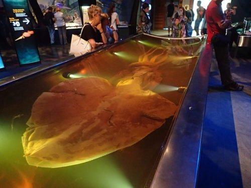 Calamar géant de plus de 5 mètres au musée Te Papa