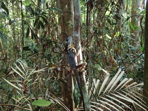 Un iguane qui se fond dans la végétation de la Rainforest Walk