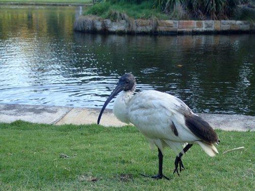 Un ibis au Royal Botanic Gardens