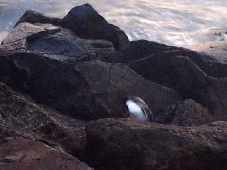 Manchot pygmée à Saint Kilda