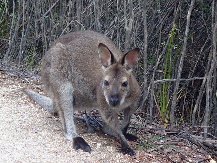 Un wallaby au Freycinet National Park