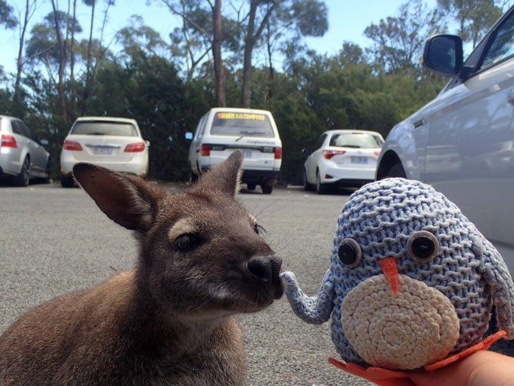 Pablo et un wallaby au Freycinet National Park
