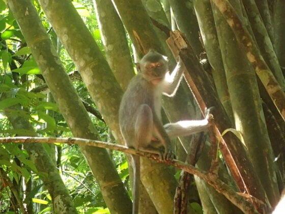 Un Bébé singe à Khao Sok
