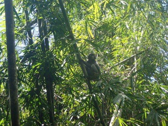 Un gibbon nous observe depuis les bambous