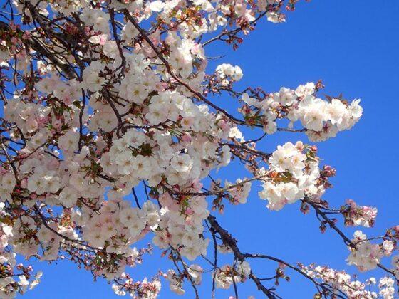 De beaux cerisiers en fleurs aux abords du marché des Chartrons
