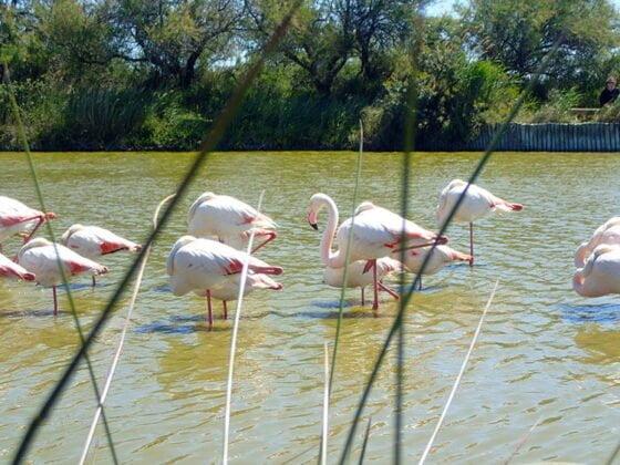 Flamants roses au parc ornithologique du Pont de Gau